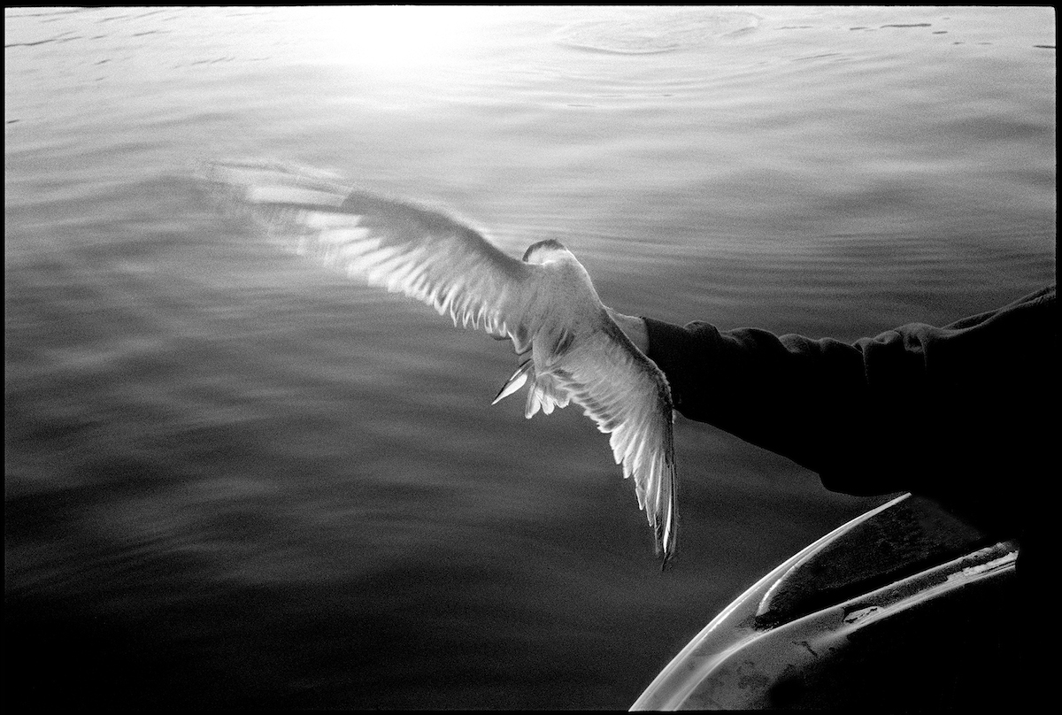 Tern, Essex River, 1999