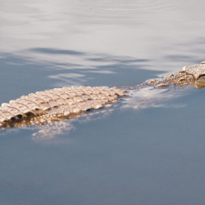 On Carl Hiaasen, Florida Childhoods, and Catching Alligators