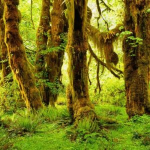 Sanctuaries of Silence: An Immersive Listening Journey into the Hoh Rainforest